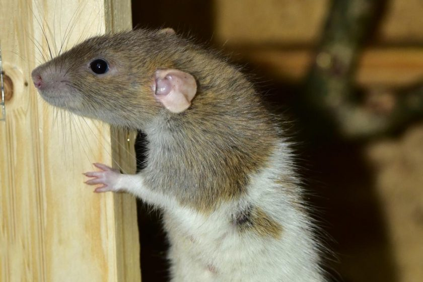 Do You Have A Rodent Problem in Your Home?