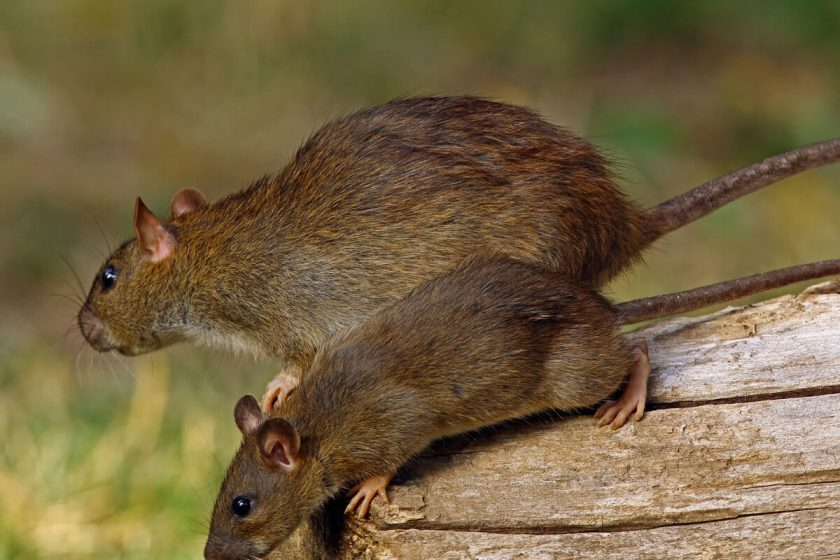 How Do I Know if I Have Rodents?